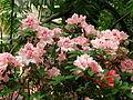 Rhododendron cv. 022.JPG