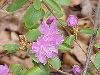 Rhododendron dauricum1