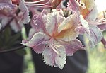 Rhododendron occidentale 232.jpg