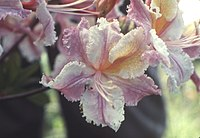 Rhododendron occidentale 232