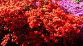 Rhododendronpark Wachwitz 11.JPG