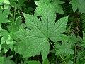 Ribes bracteosum 10366.JPG