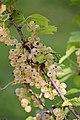 Ribes rubrum (white) Hedemora 01.jpg