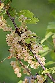 vita vinbär sorter