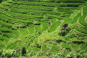 Rice fields near Sapa, Viêt Nam