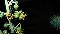 Ricinus communis Bud and flower.jpg