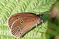 Ringlet butterfly (aphantopus hyperantus) - geograph.org.uk - 864623.jpg