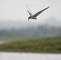 River Tern (Sterna aurantia) W IMG 9672.jpg