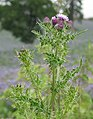 Roadside thistle - geograph.org.uk - 478913.jpg