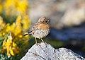 Robin Accentor (Prunella rubeculoides) (37574495514).jpg