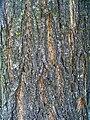 Robinia pseudoacacia 002.JPG