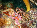 Rock crab at Castle Rocks P7260831.JPG