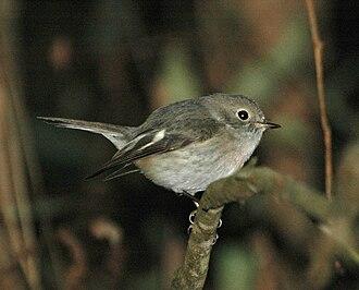 Rose robin - Female Kobble Creek, SE Queensland, Australia