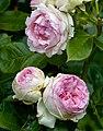 Rosa 'Eden 85' Rosengarten Köln 2017 02.jpg