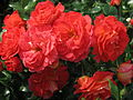 Rosa 'Gebruder Grimm' 01.JPG