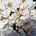 Rosa NJ 2001 96 de NIRP International. 02.jpg