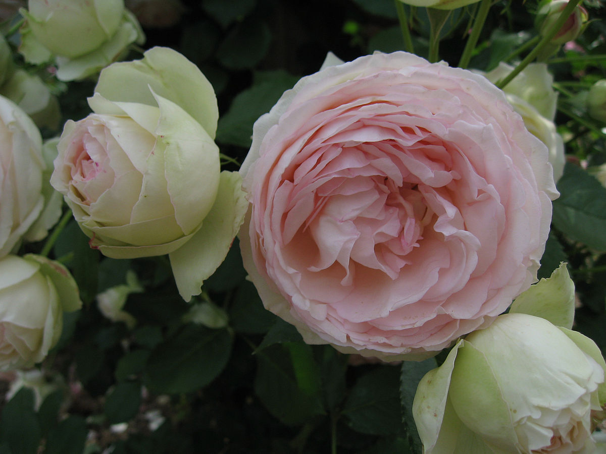 rosa 39 pierre de ronsard 39 wikipedia la enciclopedia libre