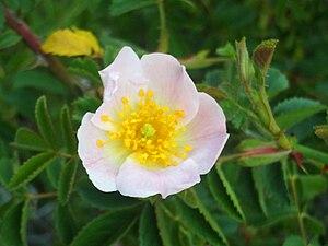 Rosa eglanteria FlowerCloseup 10May2009 SierraMadrona.jpg