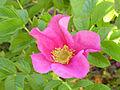 Rosa rugosa ParquePoblado 2014-05-8 Puertollano.jpg