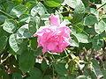 Rosa sp.307.jpg