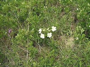Rosa spinosissima1.JPG