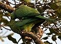 Rose-ringed Parakeet (Psittacula krameri) W IMG 6641.jpg