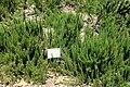 Rosmarinus officinalis - Manhattan Beach Botanical Garden - Manhattan Beach, CA - DSC01254.jpg