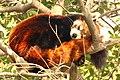 Roter Panda 0530.JPG