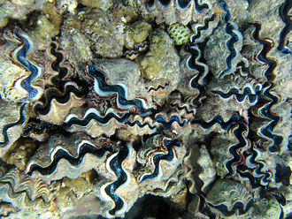 Phoenix Islands Protected Area - Tridacna giant clams in the lagoon of Orona