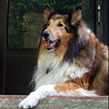 Rough collie on the porch.jpg