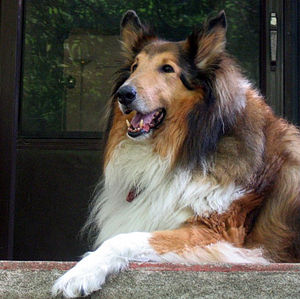 A rough collie.