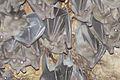Rousettus aegyptiacus 4 - Israel.jpg