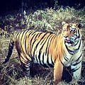 Royal Tiger.jpg