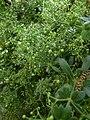 Rubia peregrina Buskett Gardens Malta 02.jpg
