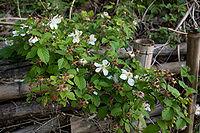 Rubus hirsutus 02.jpg