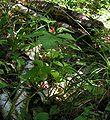 Rubus saxatilis20050923 02.jpg