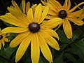 Rudbeckia from Lalbagh flower show Aug 2013 8274.JPG