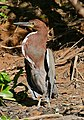 Rufescent Tiger Heron (Tigrisoma lineatum) (28540004304).jpg