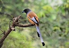 Rufous treepie bird from India