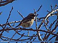Rufous-backed Redstart (Phoenicurus erythronotus) (15271983044).jpg