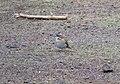 Rufous-collared Sparrow (48338304867).jpg