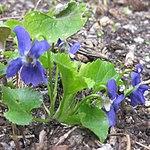 Ruhland, Grenzstr. 3, Duftveilchen im Garten, blau blühend, Frühling, 08.jpg