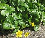 Ruhland, Grenzstr. 3, Golderdbeere im Garten, blühende Pflanzen, Frühling, 07.jpg