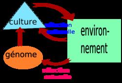 Relations entre les évolutions culturelle, environnementale et génétique