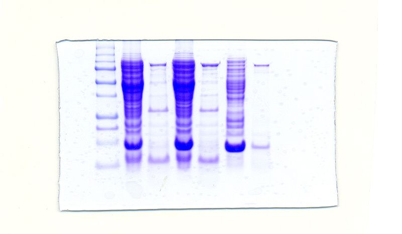 File:SDS-PAGE with Taq DNA Polymerase.JPG