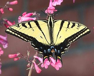 <i>Papilio multicaudata</i> species of insect