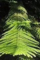 SZ 深圳 Shenzhen 福田 Futian 深圳市中心公園 Zhongxin Park green tree 南洋杉 Araucaria Nov 2017 IX1 green leaves.jpg