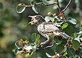 Sage thrasher on Seedskadee National Wildlife Refuge (35371938714).jpg