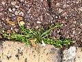 Sagina procumbens plant (19).jpg