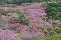 Sakura at Mount Yae 202001 02.jpg